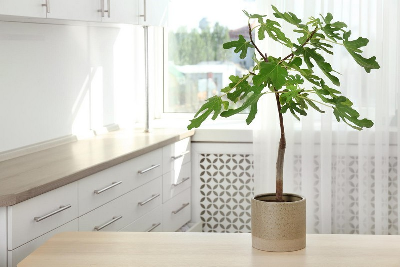 kann man feigenbaum im topf halten feigenbaum schneiden feigenbaum in der küche