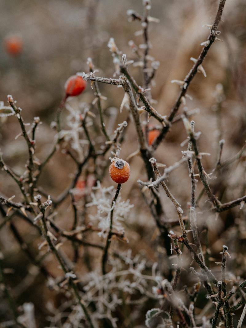 kleine rote hagebutten hagebuttentee selber machen hagebutten nach dem frost