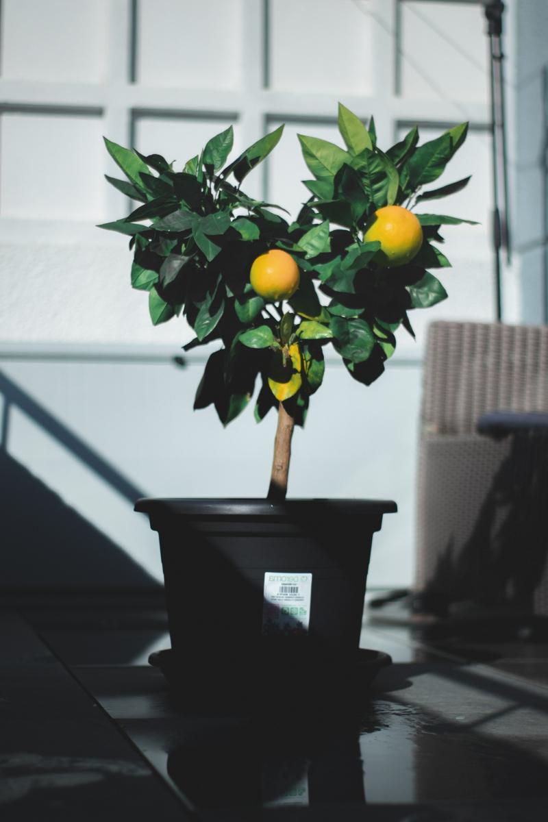 kleinen zitrusbaum überwintern informationen und tipps