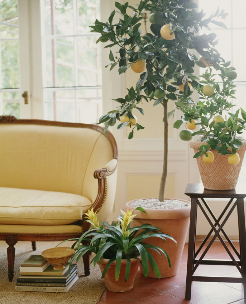 potted lemon tree next to a settee.