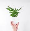 pflanzen die luftfeuchtigkeit absorbieren luftfeuchtigkeit senken durch zimmerpflanzen
