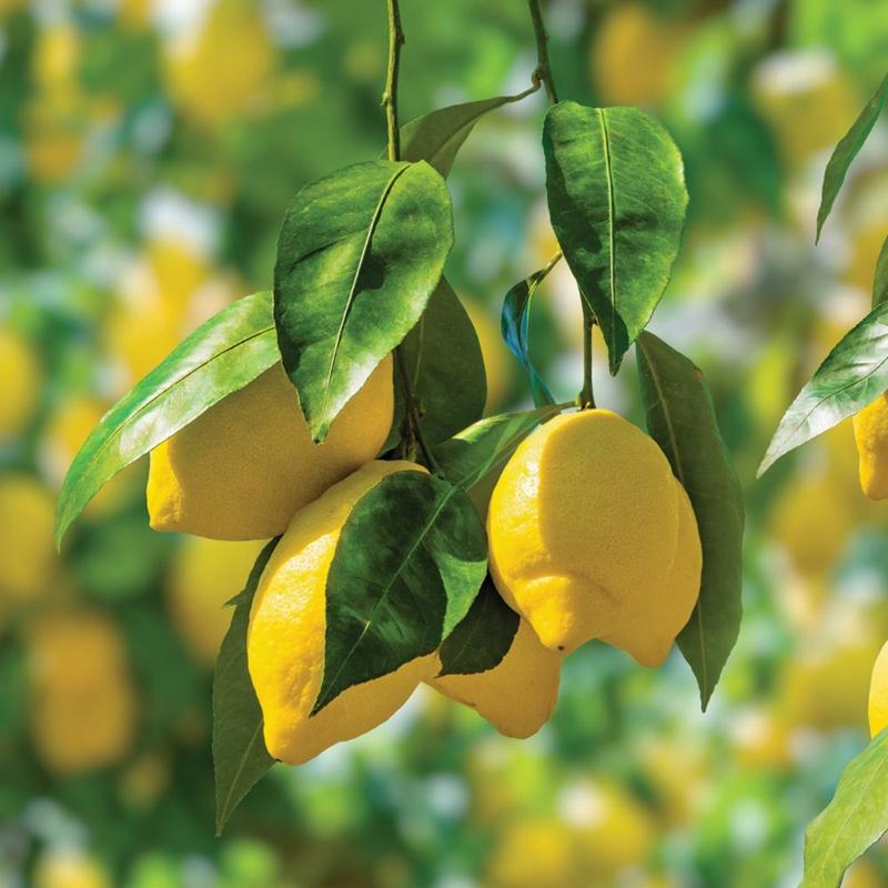 pflege tipps zitrusbaum überwintern informationen