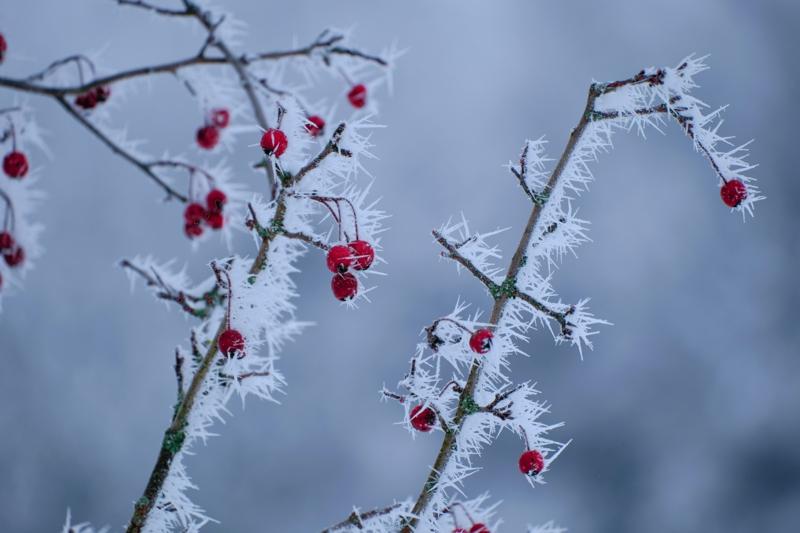 rote hagebutten nach dem frost ernten hagebuttentee selber machen rezept