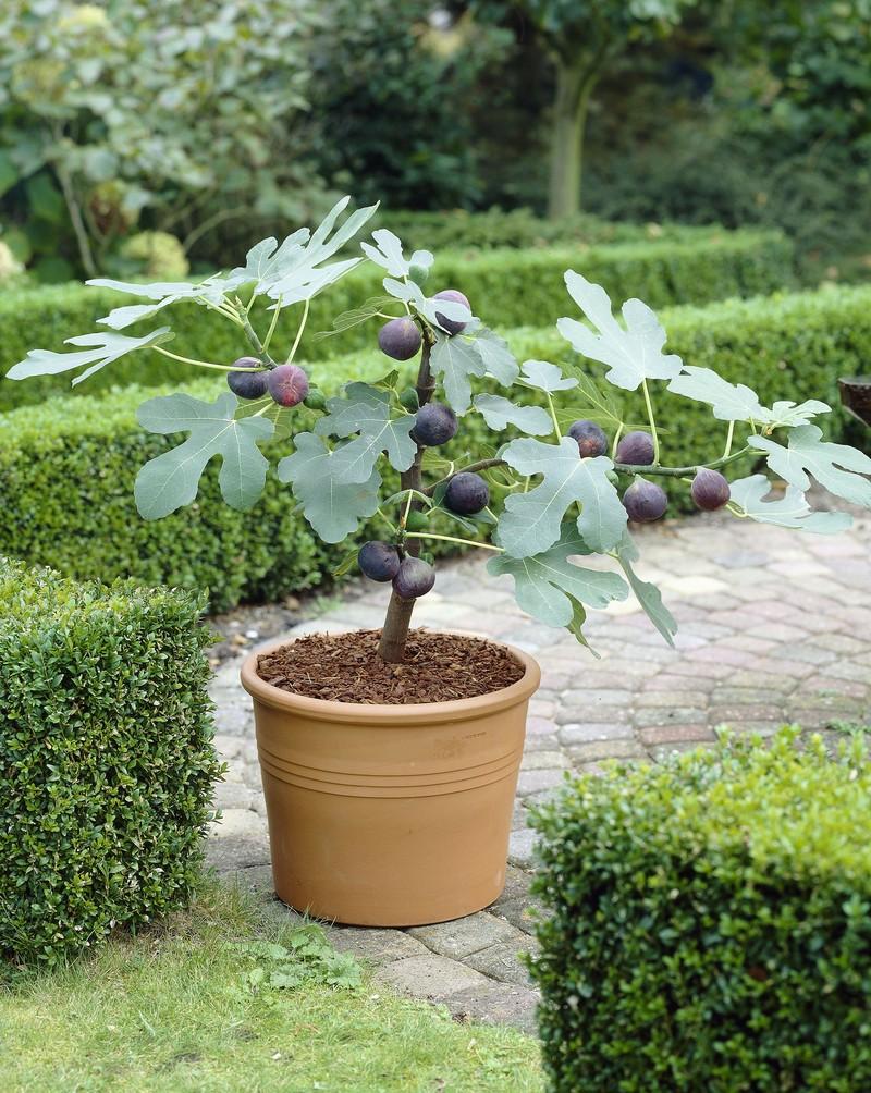 wann fängt ein feigenbaum an zu blühen feigenbaum schneiden kleinen feigenbaum im topf mit früchten