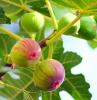 wie isst man feigen feigenbaum feigen am baum