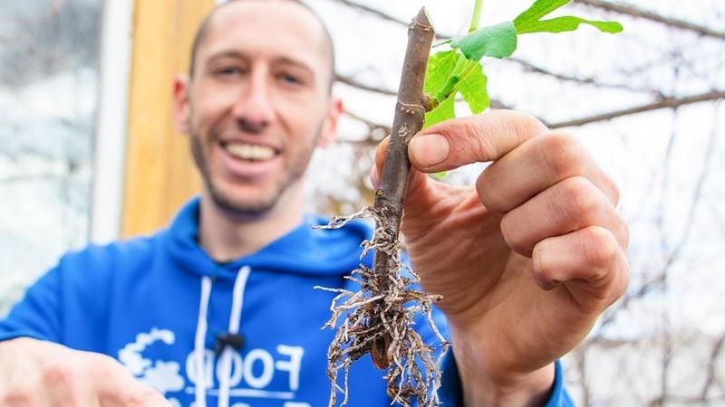 wie kann ich feigenbaum schneiden feigenbaum vermehren junger mann hält kleinen feigenbaum