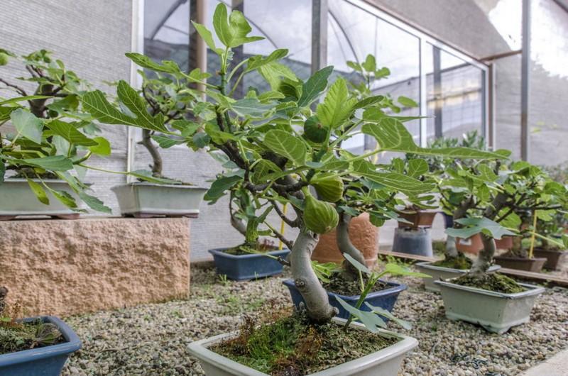 wie pflege ich einen feigenbaum im topf bonsai feigenbaum im topf