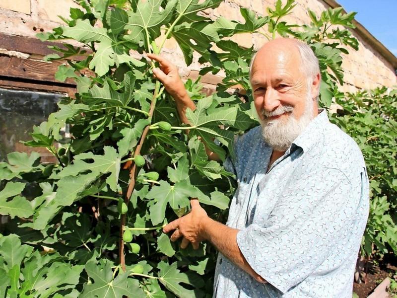 wie pflegt man einen feigenbaum feigenbaum balkon feigenbaum schneiden mann schneidet