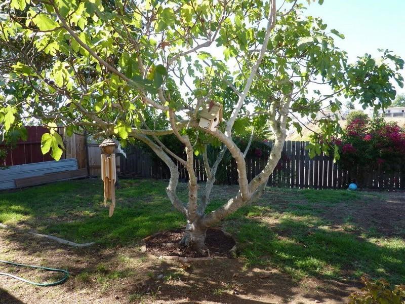 wie pflegt man einen feigenbaum wann fängt ein feigenbaum an zu blühen großer feigenbaum im garten